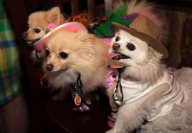 cowboy small dogs
